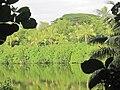 Oahu-Kahaluupond-mangroves&coconuts.JPG