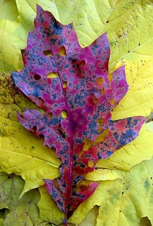 Oak leaf on maple leaf.