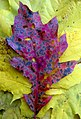 Oak leaf on maple leaf field has the blues.jpg