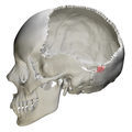 Occipital bone Lateral angle12.png