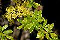 Ochna pulchra, loof en blomme, b, Jan Celliers Park.jpg