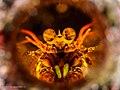 Odontodactylus sp (25319670699).jpg