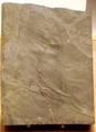 OdontogriphusSpeciman RoyalOntarioMuseum.png