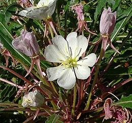 Oenothera caespitosa 4