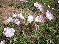 Oenothera speciosa 2c.JPG