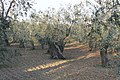 Olive Groves in Puglia Countryside - panoramio (1).jpg
