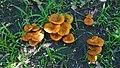 Omphalotus olearius (DC.) Singer 699867.jpg