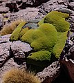 On and around Bolivias' Salar de Uyuni - examples of the high altitude loving Yareta (Azorella compacta), a member of the Apiacaea family - (24813591126).jpg