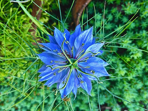 Opened flower of blue Nigélla damáscena in the open field.jpg