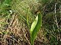 Ophioglossum vulgatum.jpeg