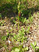 Ophrys insectifera 09.jpg