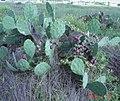 Opuntia-bentonii-galv-5.jpg
