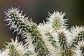 Opuntia fulgida - Flickr - Ragnhild & Neil Crawford.jpg