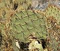 Opuntia phaeacantha 13.jpg
