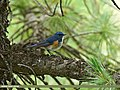 Orange-flanked Bush Robin (Tarsiger cyanurus) (29062233540).jpg