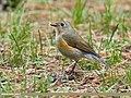 Orange-flanked Bush Robin (Tarsiger cyanurus) (35165846465).jpg