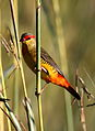 Orange breasted waxbill, Amandava subflava, at Suikerbosrand Nature Reserve, Gauteng, South Africa (25911614225).jpg