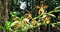 Orchidées 03.JPG