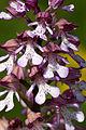 Orchis.militaris.x.Orchis.purpurea.8224.jpg