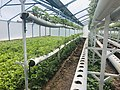 Organic Strawberry Greenhouse in Byurakan, Armenia 02.jpg