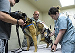 Orthotic tech helps military working dog walk again 150402-F-PU339-052.jpg