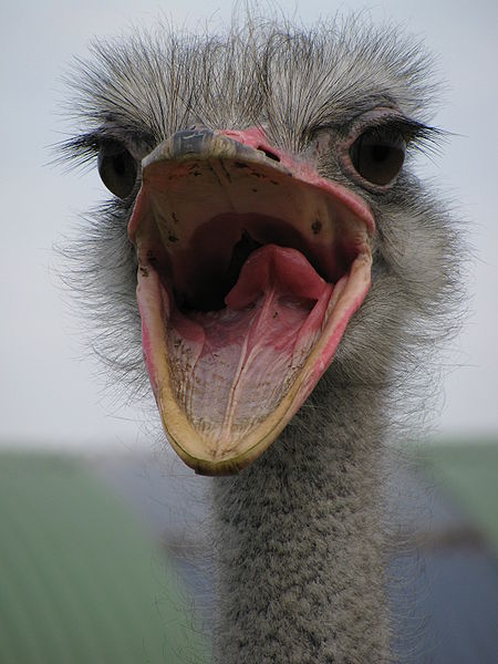 File:Ostrich, mouth open.jpg