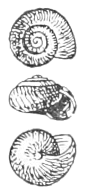 Malacological Society of London - Ovachlamys fulgens, from Proceedings of the Malacological Society of London