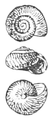 Ovachlamys fulgens shell.png