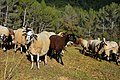 Ovelles Gavarrossa, Torrelles de Foix, Alt Penedès. (24869627341).jpg