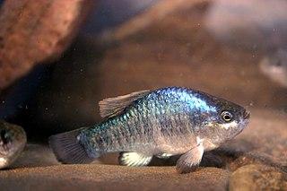 <i>Cyprinodon</i> genus of fishes