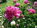 Pæonia lactiflora.jpg