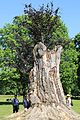 Pücklersche Blutbuche Muskau-Park Bad Muskau...2H1A1332WI.jpg