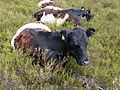 P104Belted Galloway Cattle0231 - Flickr - gailhampshire.jpg