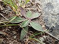 P3038214 Pilosella officinarum - Mouse-ear Hawkweed.jpg