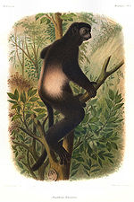 Planche illustrative de Propithecus edwardsi.