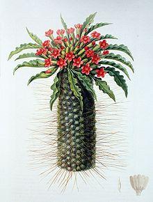 Pachypodium namaquanum00.jpg