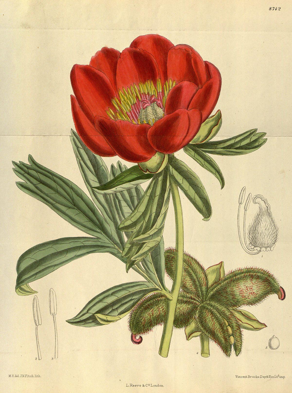 Paeonia Peregrina Wikispecies