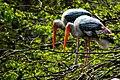 Pair of painted stork (Mycteria leucocephala).jpg