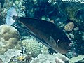 Paletail unicornfish (Naso brevirostris) (47780681471).jpg