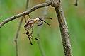 Paper Wasps (Belonogaster dubia) (16599366609).jpg