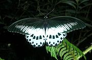 Papilio polymnestor.jpg