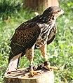 Parabuteo unicinctus Slovenia Harris's hawk IMG 9398.jpg