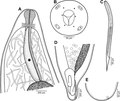 Parasite140007-fig5 Philometra fasciati Moravec & Justine, 2008 (Nematoda, Philometridae).tif