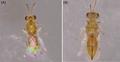 Parasite160063-fig3 - Quadrastichus mendeli.png