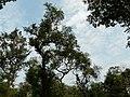 Paruvamaram (Malayalam- പരുവമരം) (3112762384).jpg