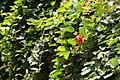 Passiflora coccinea 18zz.jpg
