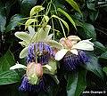 Passiflora popenovii Killip.jpg