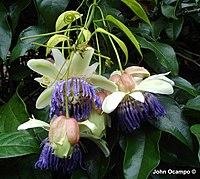 Passiflora popenovii Killip