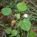 Pavonia odorata in Talakona forest, AP W IMG 8319.jpg