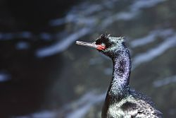 Pelagic Cormorant (Phalacrocorax pelagicus) at Monterey Bay, head and neck.jpg